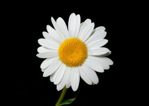 oxeye-daisy-flower-ox-eye-white-45901